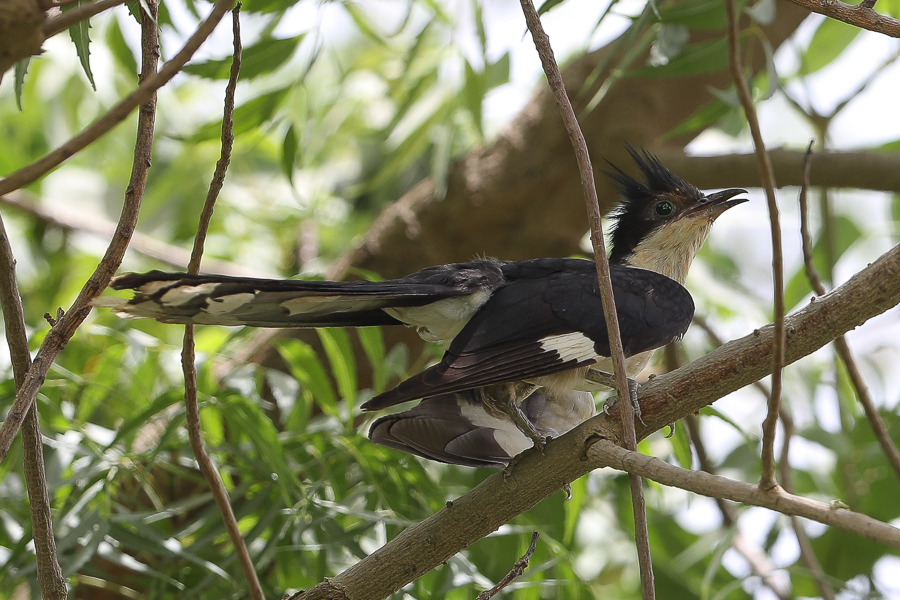 Pied Cuckoo Clamator jacobinus