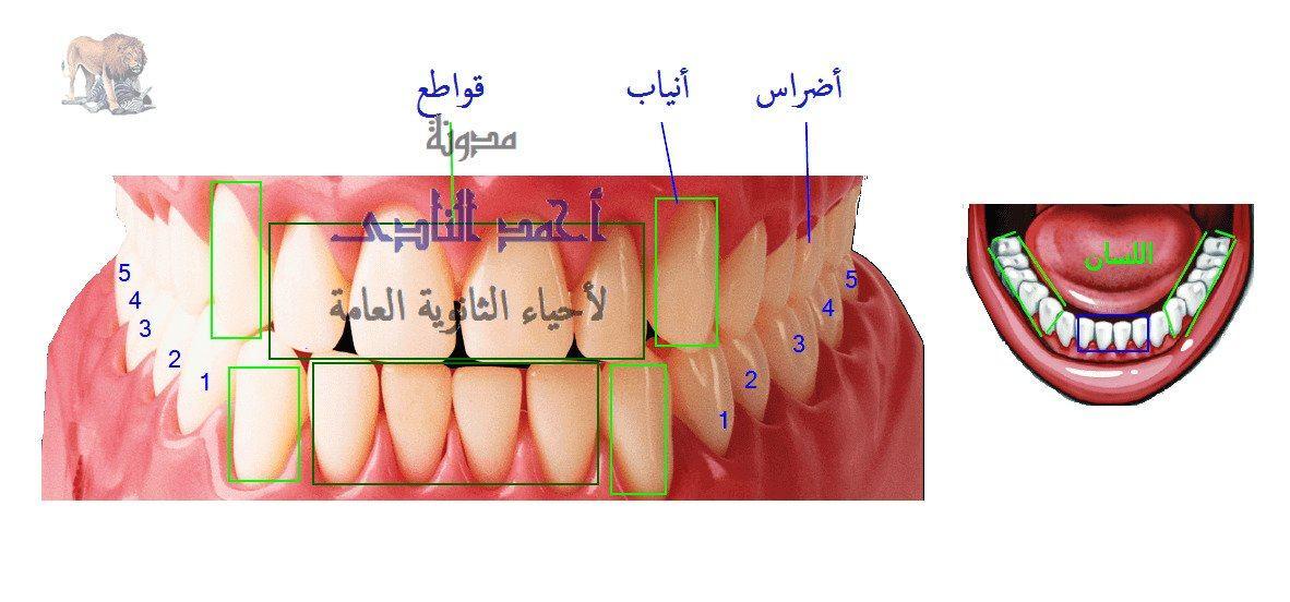 الهضم فى الإنسان -الهضم فى الفم - الأسنان - الأنياب - الأضراس  القواطع - مدونة أحمد النادى - أحياء الثانوية العامة