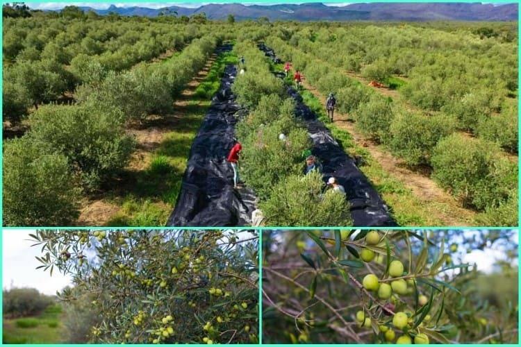 Agricultores de Rio de Contas realizam colheita da segunda safra de azeitonas