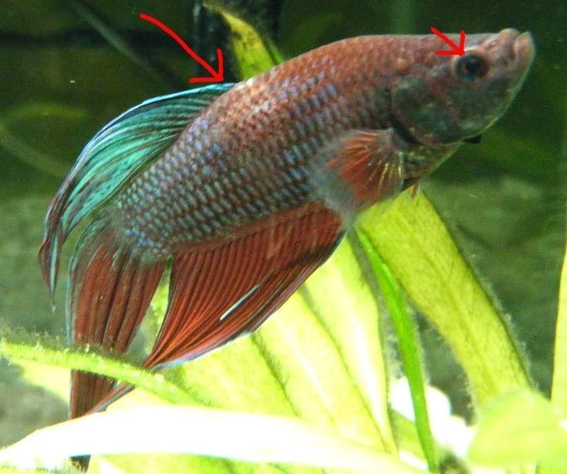 Image Sick Betta Fish