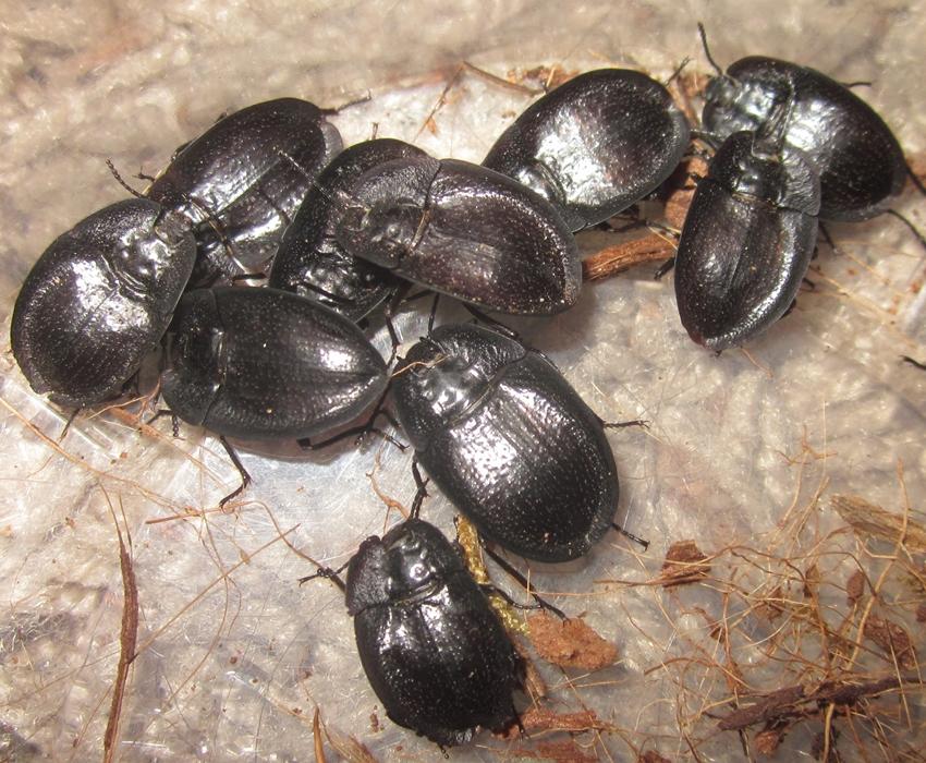 E.muricatum%25231.JPG