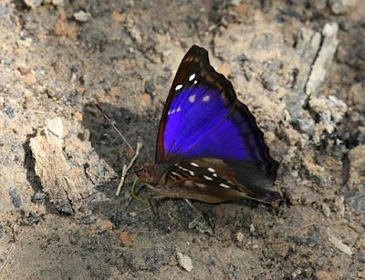 Mariposa turquí (Doxocopa agathina)
