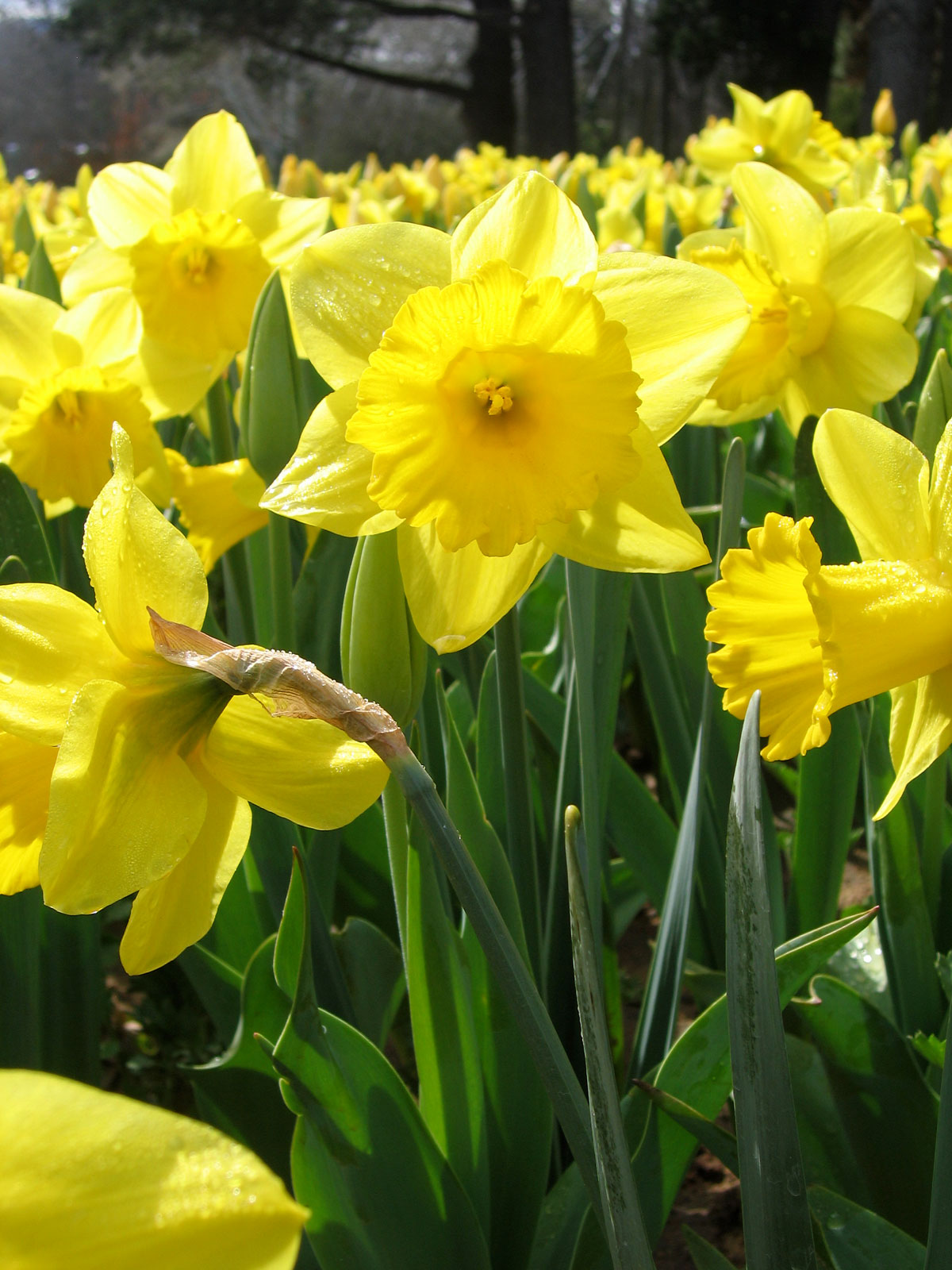 I Need New Things Daffodils The Beauty