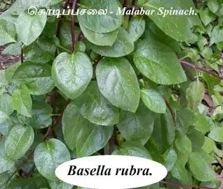 கொடிப்பசலை - Malabar Spinach.