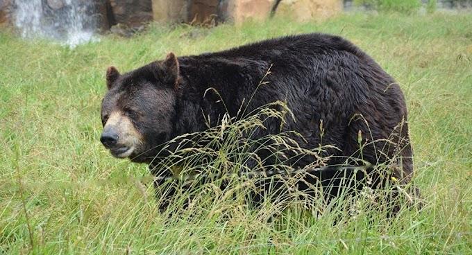 Urso invade casa e sobe a armário para dormir nos EUA (Fotos, Vídeo)