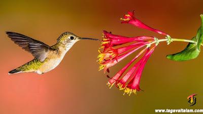 ஓசனிச்சிட்டுகள் (Hummingbird)