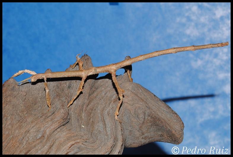 Ninfa hembra L7 de Achrioptera manga, 13 cm de longitud