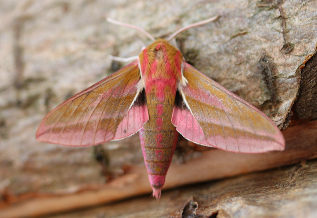 The Elephant hawk moth