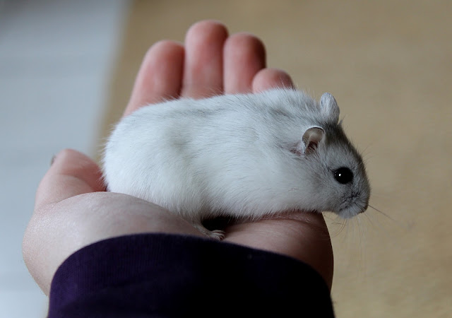 cam-nang-cach-nuoi-cham-soc-hamster-winter-white-ww-chuot-canh