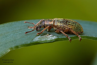 Páratlan fenyőormányos - Polydrusus impar