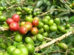 Coffee is a berry classified as a fruit