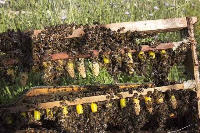 Μελισσοκομία: Με αργά βήματα προχωρά η βασιλοτροφία στην Αργολίδα