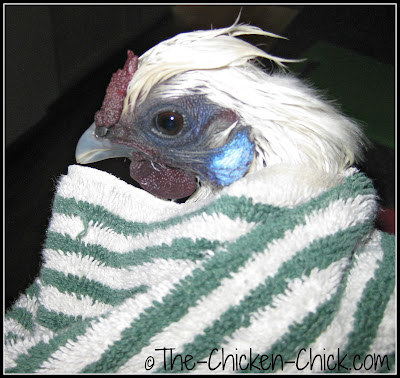 Silkie hen wrapped in a towel after bath.
