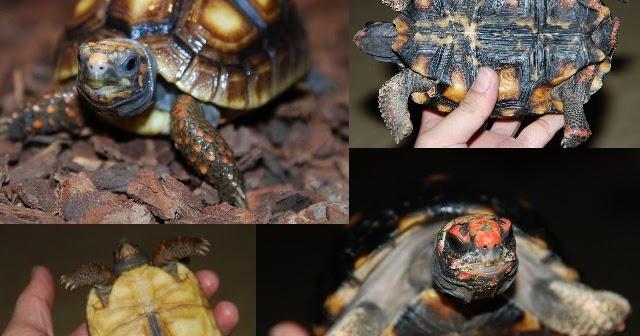 古拉之幸 Tortoise Note: 櫻桃紅腿&紅腿陸龜