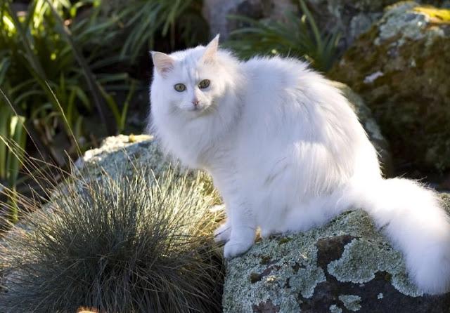 Unduh 93+  Gambar Kucing Anggora Warna Putih Lucu Gratis