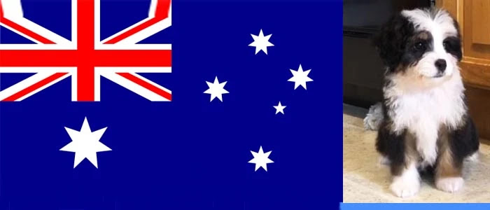 Bernedoodle-breeders-australia