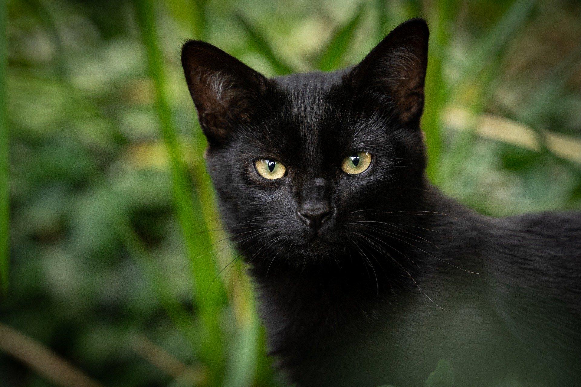 Le syndrome du chat noir : Pourquoi les chats noirs peuvent avoir plus de mal à se faire adopter