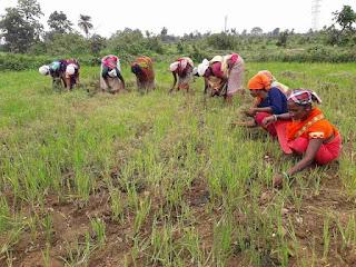 मानसून की बेरुखी से चिंतित किसान
