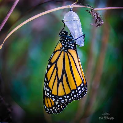 Monarch Chrysalis Hug