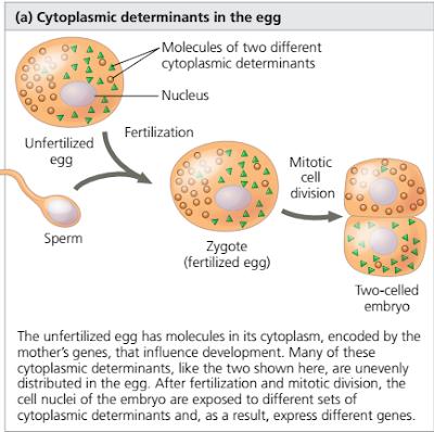 Regulasi Ekspresi Gen Pada Perkembangan Embrio Hingga Pembentukan Organ, regulasi ekspresi gen pada embrio, induksi sel dari embrio, regulasi ekspresi gen pada pembentukan sel otot
