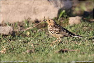 https://bioclicetphotos.blogspot.fr/search/label/Pipit%20%C3%A0%20gorge%20rousse%20-%20Anthus%20cervinus%20%28ETP%29