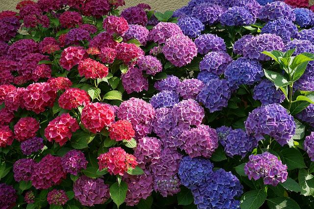 zdjęcie niebieskich hortensji