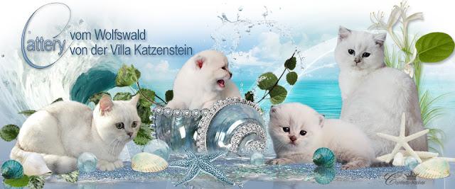 Britisch Langhaar und Britisch Kurzhaar Katzen in silverpoint