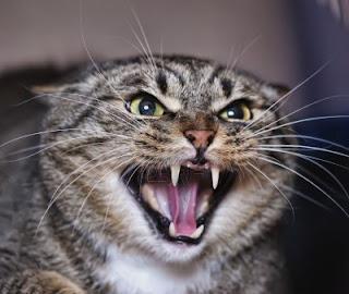 Berbagai Macam Suara Kucing
