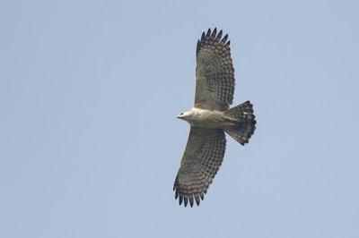 elang brontok terbang