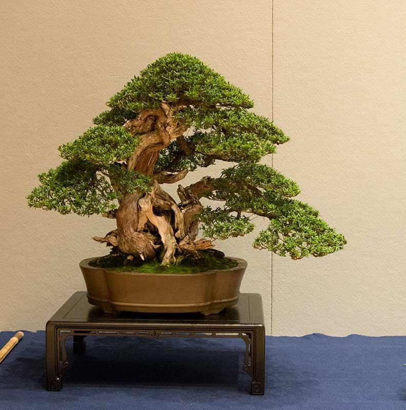 Walter pall bonsai adventures aki ten in brixen for Bonsai italia