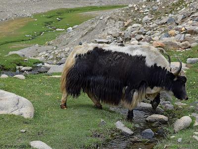 Yak_Zanskar_Ladakh_ici-colo.ro