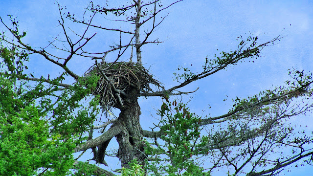 An eagle's nest is its home...