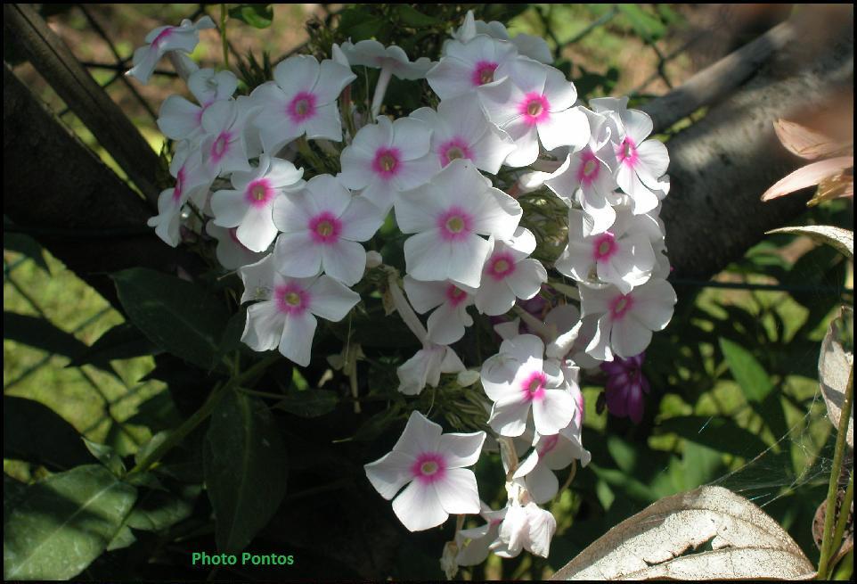 Ha Fiori Bianchi E Rosa.Un Giardino Di Perenni In Ticino Settembre 2011