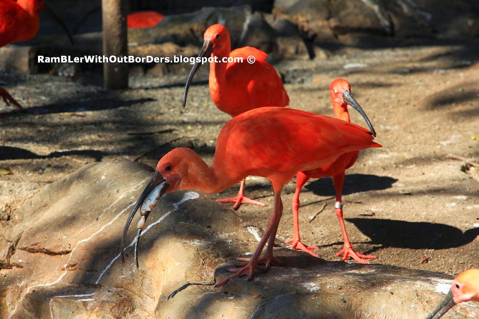 Scarlet Ibis, Jurong Bird Park, Singapore