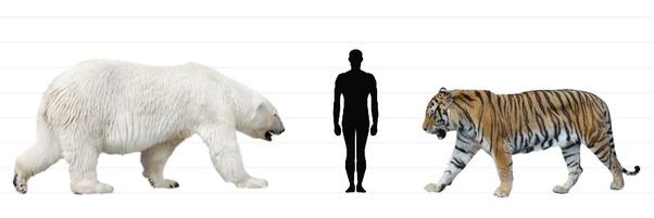 kích thước hổ và người-gấu