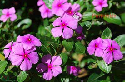 periwinkle flower, periwinkle
