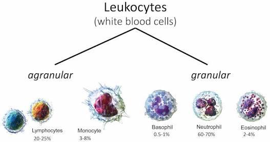 خلايا الدم البيضاء White Blood Cells Wbc Leukocytes