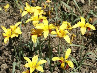 Tulipa clusiana 'Cynthia'