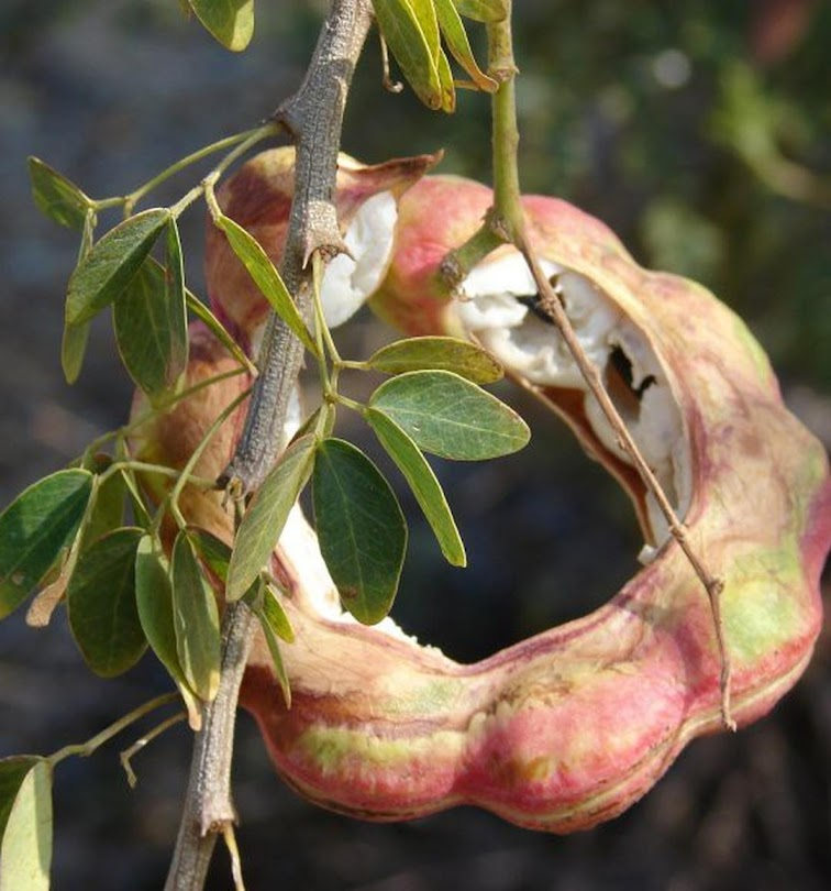 biji benih buah asem londo asam belanda buah putih 10 biji Jawa Timur