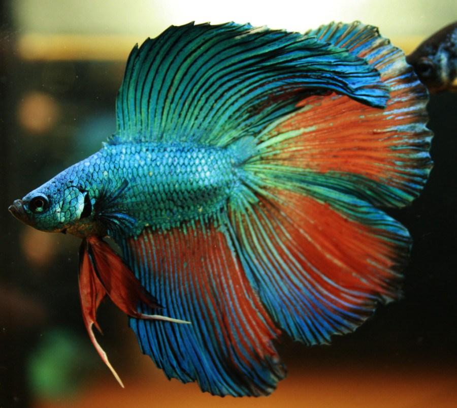 Makalah Budidaya Ikan Hias Cupang