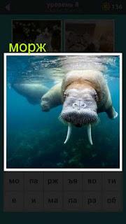 морж ныряет в воду и видны его бивни 667 слов 8 уровень