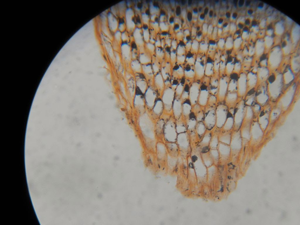onion cell diagram usb wiring motherboard bio geo nerd plant structure lab 2