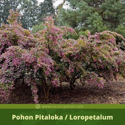 Pohon Loropetalum