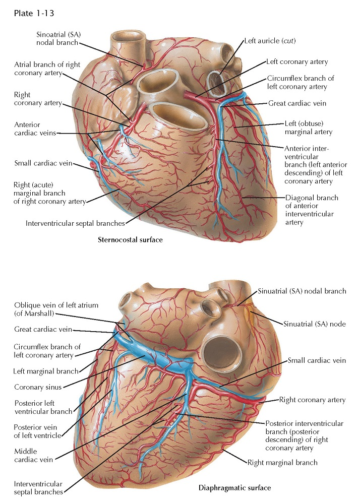 STERNOCOSTAL AND DIAPHRAGMATIC SURFACES