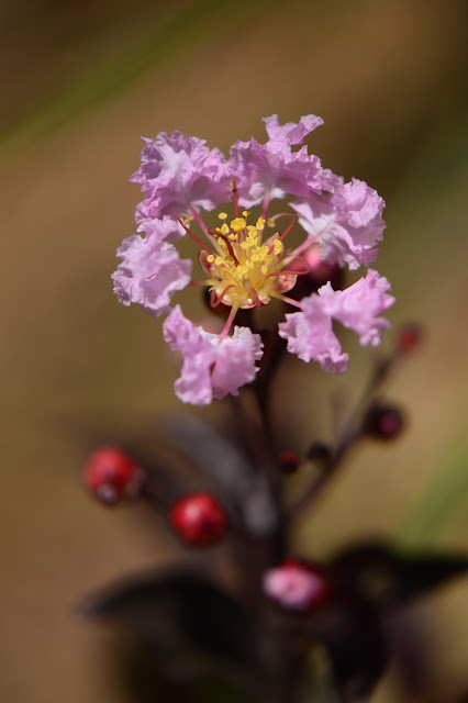 lagerstroemia, rhapsody in pink, crape myrtle, small sunny garden, garden bloggers bloom day, amy myers, desert garden