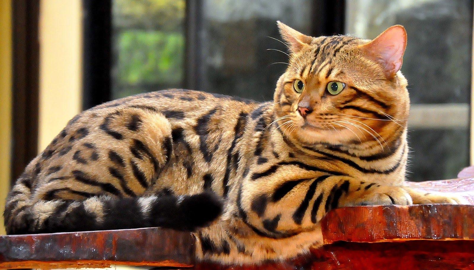 Kucing Bengal Kucing Comel