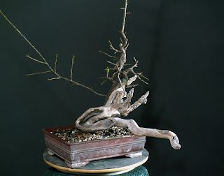 yamadori, prunus mahaleb, deadwood, jin, threadgrafts