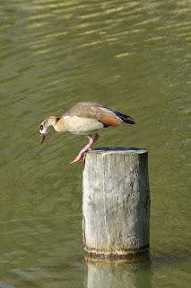 Ouette d'Egypte - Oie d'Egypte - Alopochen aegyptiacus