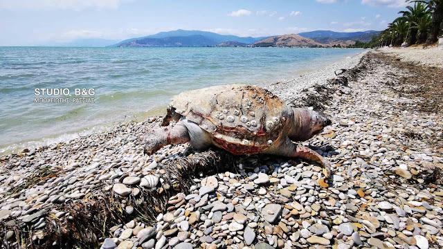 Αργολίδα: Νεκρή θαλάσσια χελώνα στην παραλία Νέας Κίου (βίντεο)