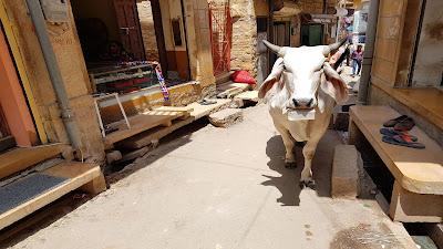 mucca golosa
